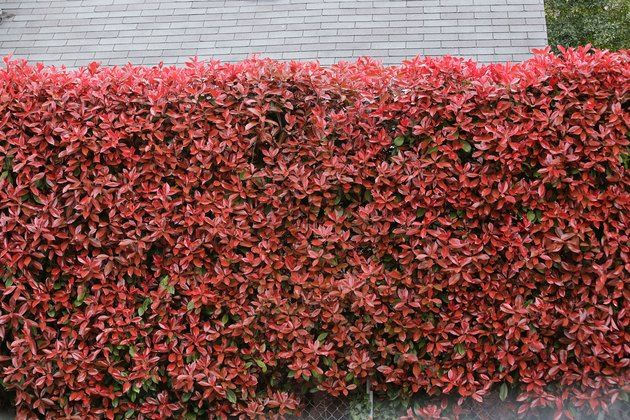 How To Plant Care For Red Tip Photinia Hunker Red Tip Photinia Red Shrubs Plant Care