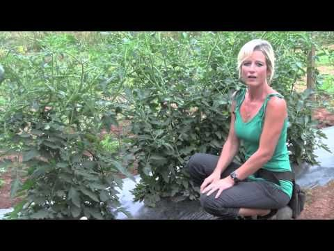 Tomato Staking technique.  DO THIS!!!  Pruning and Staking Tomatoes - Perfect Techniques - YouTube