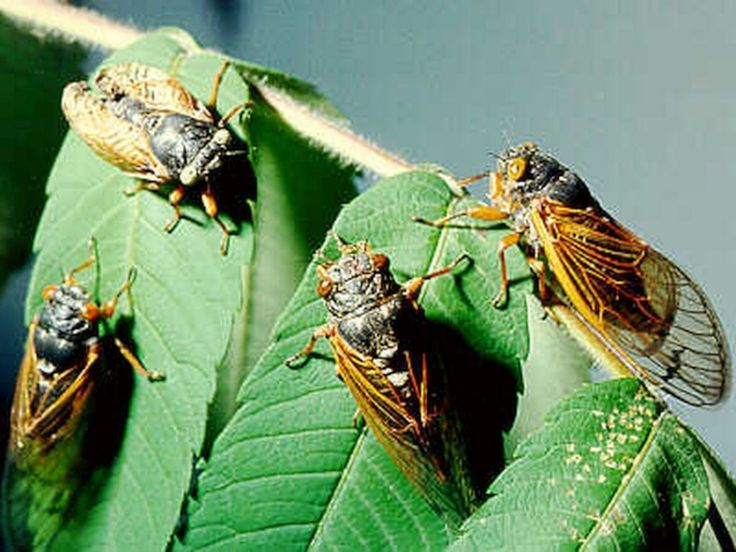 Swarms of cicadas emerging in Midwest of the USA - Coming soon: Brood XIII. It sounds like a bad horror movie. But it's actually the name of the billions of cicadas expected to emerge this month in parts of the Midwest after spending 17 years underground.