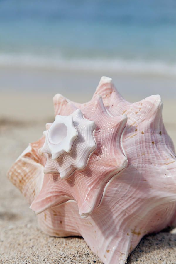 Beach, the place to be... pink conch shell