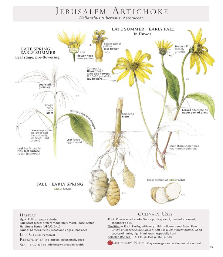 54 best foraging feasting plant id pages illustrated by wendy these are pages from the book foraging feasting a field guide ccuart Image collections