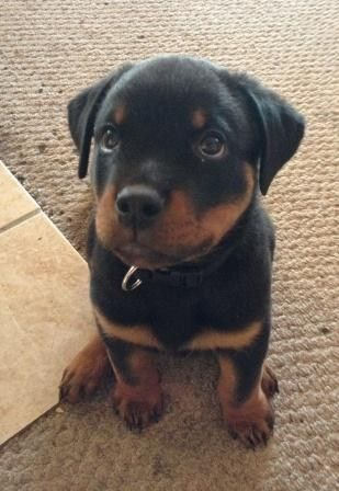 Rottweiler puppy: When I grow up I will be your very best friend no one will harm you while I am around neither will you ever have reason to fear.