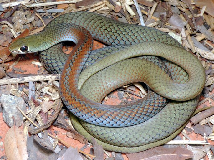 Demansia Psammophis Yellow Faced Whipsnake Schone Schlangen Schlangen Reptilien