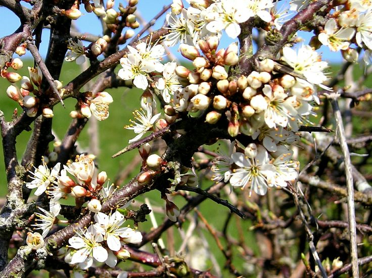 Blackthorn blossoming near Job's Cross, Cornwall.