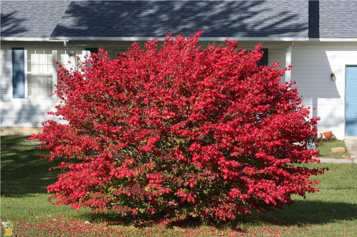 25 best ideas about burning bush shrub on pinterest for No maintenance flowering shrubs