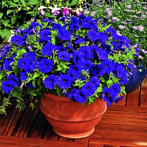 36 best images about petunias on pinterest persian container gardening and hanging baskets - Growing petunias pots balconies porches ...