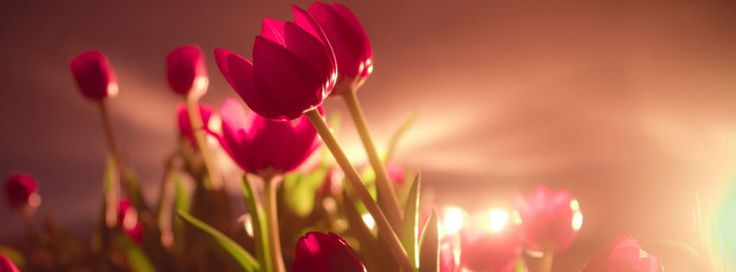Vibrant red tulips facebook cover