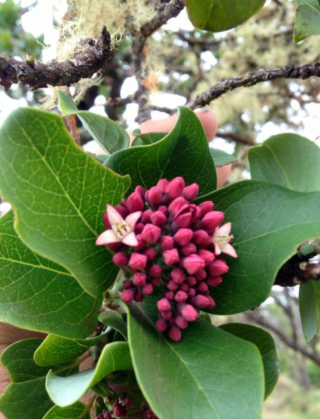 Sandalwood Tree Blooms