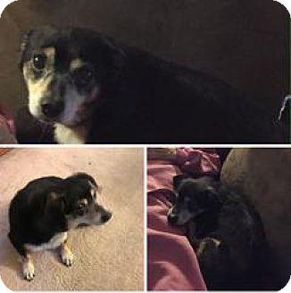Lake Forest, CA - Miniature Pinscher/Chihuahua Mix. Meet Lucky NEEDS A FOSTER, a dog for adoption. http://www.adoptapet.com/pet/17292812-lake-forest-california-miniature-pinscher-mix