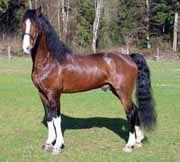 Hackney | source eros arabian and hackney horses hackney horses originated in ...