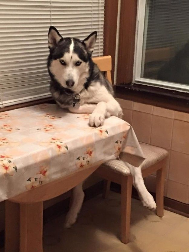 Your dog has a seat at your table.   21 Things You Only Understand If Your Dog Is Part Of Your Family