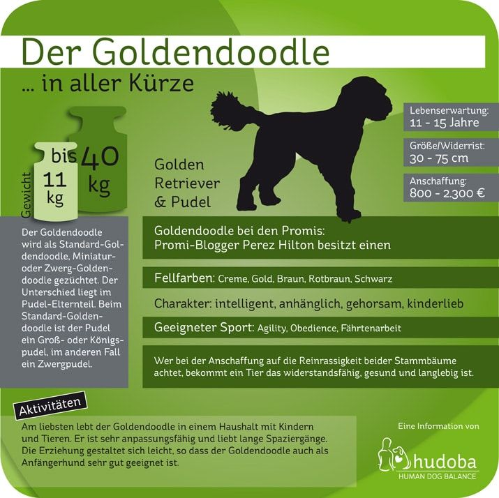 Goldendoodle Golden Retriever Pudel Mydog365 Magazin In 2020 Bulldogge Franzosische Bulldogge Franzosische Bulldoggenbabys