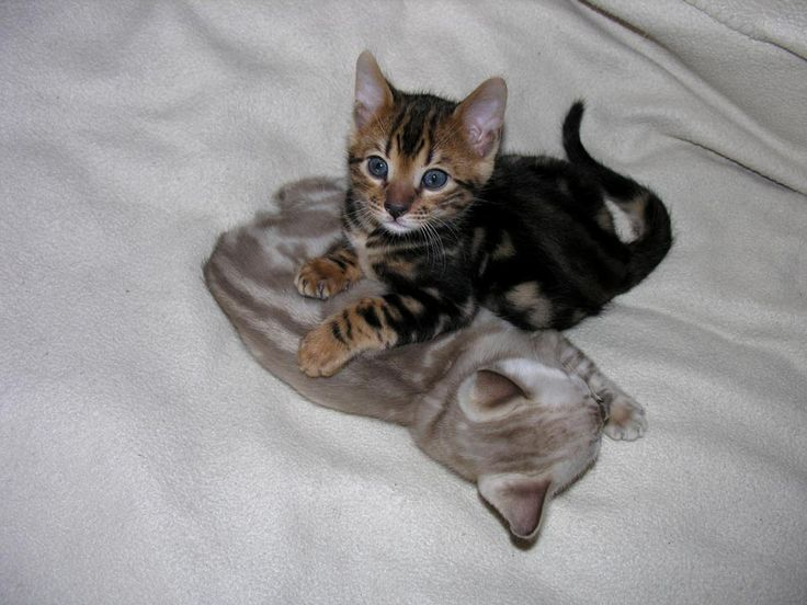 Kitty Bengal - chats Bengals - description de notre élevage, prix des chatons…