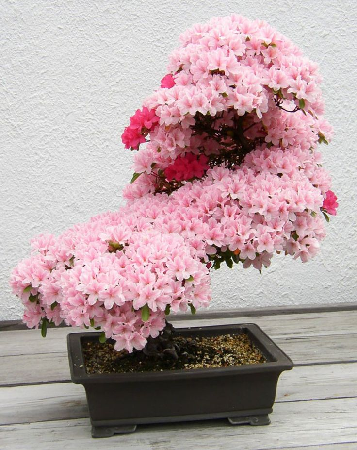 Azalea Bonsai Baum kaufen