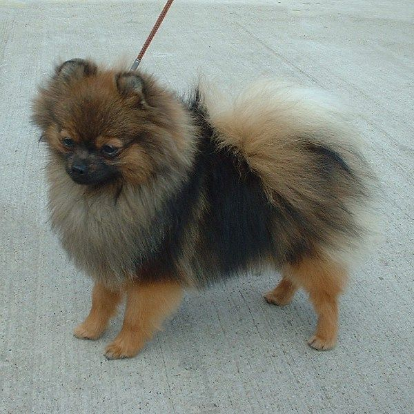 Image Result For Pomeranian Hair Loss
