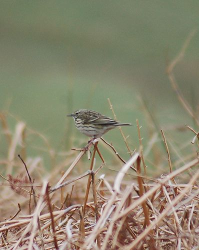 Meadow Pipit | Andrew Pescod | Flickr