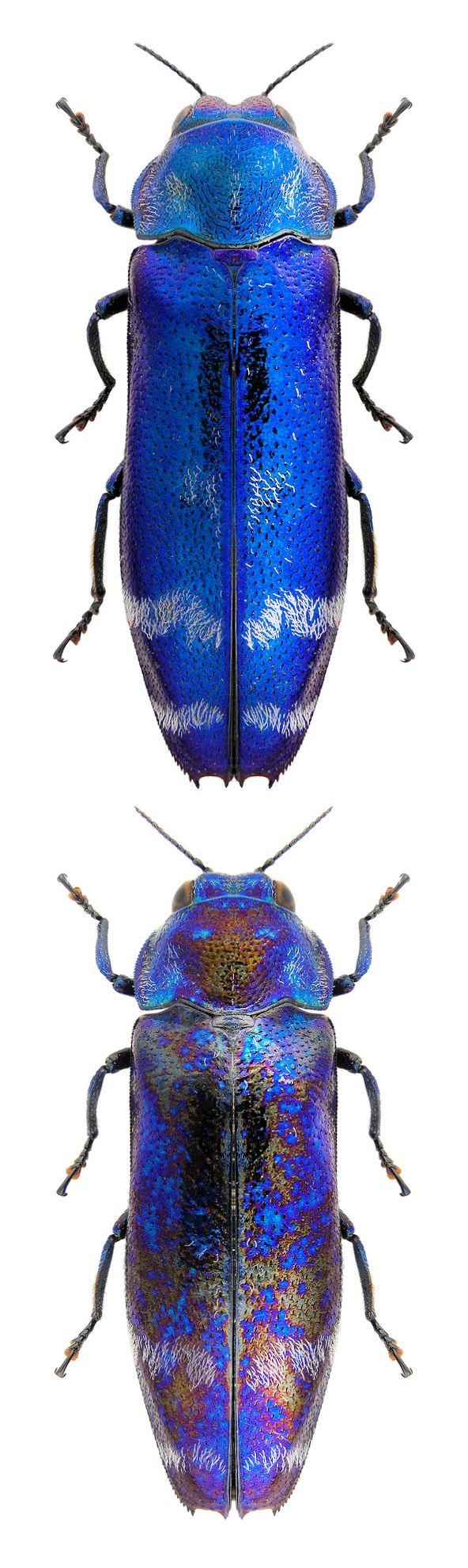 Coraebus nipponicus