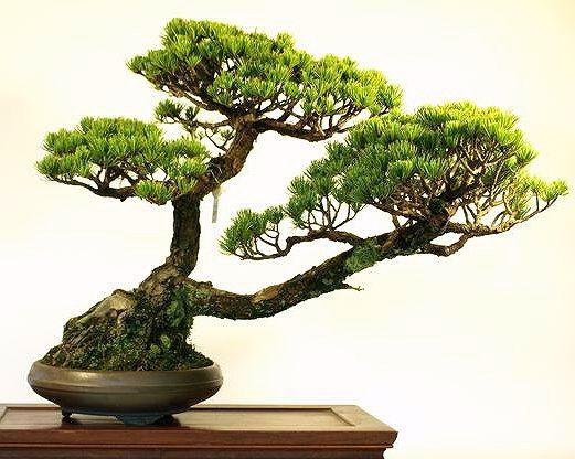 1472 Best Images About Bonsai On Pinterest Bonsai