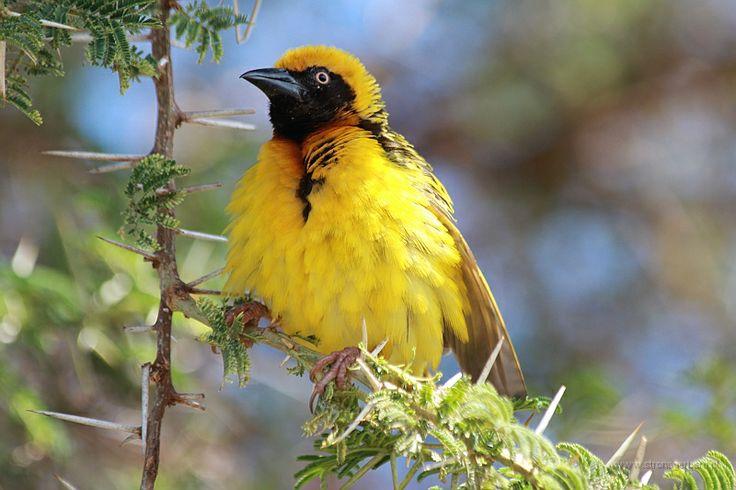 Wikłacz łuskowaty (Speke's Weaver) - Tanzania    www.szczytyafryki.pl    #Tanzania #Ptaki #Afryka