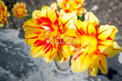 Tulips on a Rock - Red and yellow tulips angled towards a large rock
