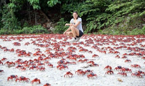 Cangrejos rojos de la isla de Navidad  Cada año cerca de 43 millones de cangrejos de tierra se trasladaron en masa hacia el océano para poner sus huevos. Las autoridades locales cierran la mayoría de las carreteras de la isla durante una semana, para no interferir con la migración