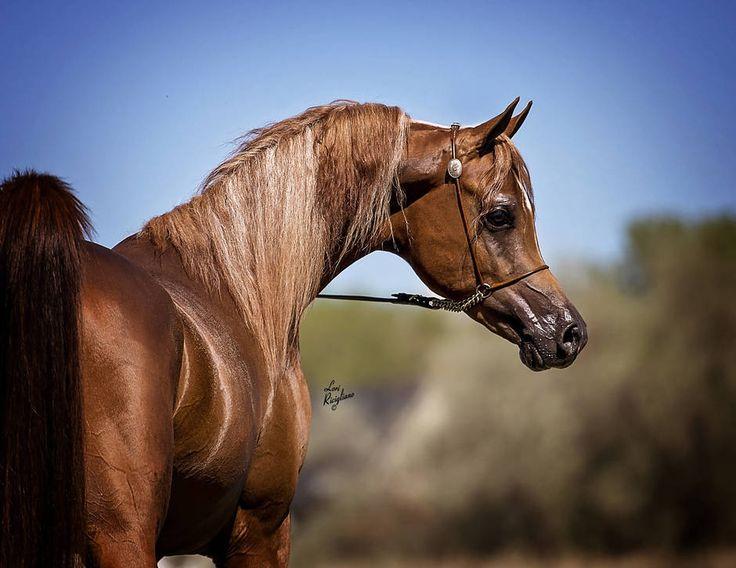 Epiic Aj Thee Luca X Anastasiaa 2013 Chestnut Stallion Bred By Criadero Medrano Equador Previously Named Md H Arabian Horse Horses Beautiful Arabian Horses