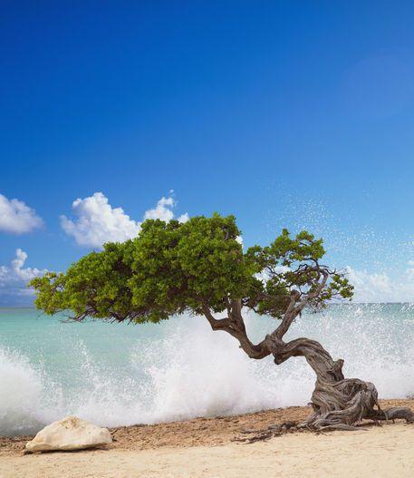 Divi-Divi tree of Aruba