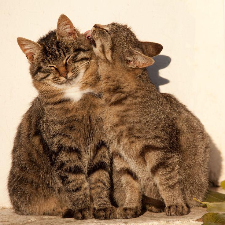 картинки кошек парами вариант удобен