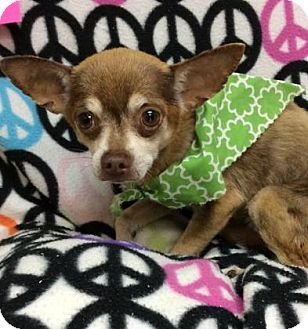 Tampa, FL - Chihuahua Mix. Meet Machito, a dog for adoption. http://www.adoptapet.com/pet/18235643-tampa-florida-chihuahua-mix
