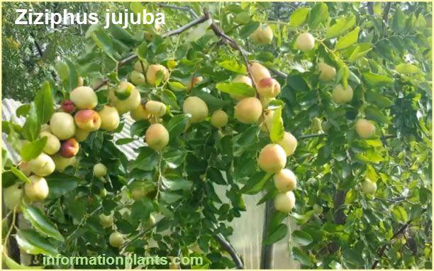 فاكهة العناب Ziziphus Jujuba قسم الفواكه النبات معلومان عامه معلوماتية Grapes Fruit Olive
