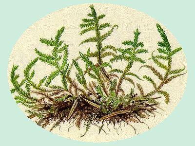 Pokryvnatec (Entodon schreberi) Roste nejen v jehličnatých a smíšených lesích, ale i na loukách. Lodyžky jsou až 15 cm vysoké.  Lístky jsou střechovitě uspořádané. Je dvoudomý, jen místy plodný. Lístky na větvích jsou menší než na lodyžkách.