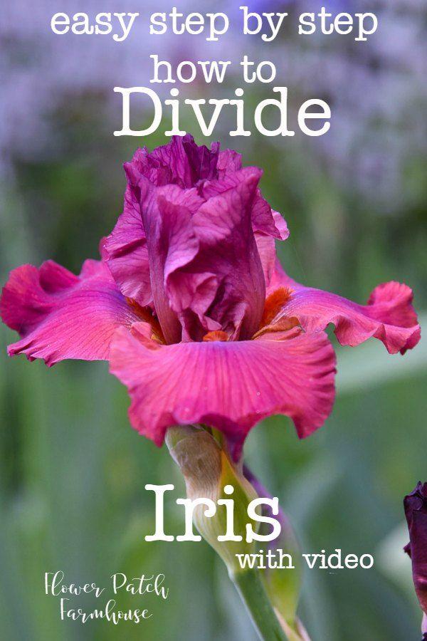 How To Divide Iris Rhizomes Iris Garden Flowers Perennials Rhizome
