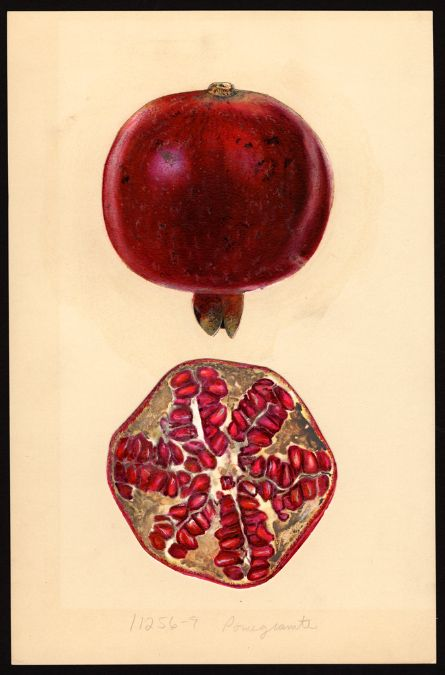 Pomegranate (Punica granatum) By Mary Daisy Arnold (ca. 1873–1955) 17 x 25 cm. Notes on original: From fruit stand. Date created: 1932-11-17. U.S. Department of Agriculture Pomological Watercolor Collection. Rare and Special Collections, National Agricultural Library, Beltsville, MD 20705