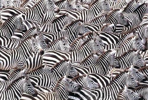 Africa | A herd of Grant's zebras approaches the Mara River's treacherous waters during their annual migration through southern Kenya. | © Art Wolfe