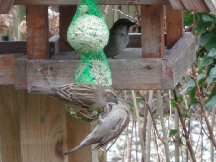 Musjes - Sparrows