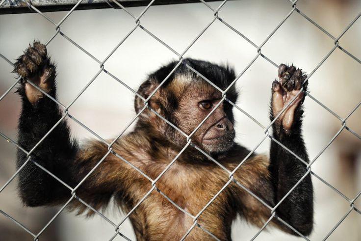 Los monos capuchinos, como 'Mochila', son muy populares en el cine y la publicidad ya que son muy expresivos, aunque su 'sonrisa' en realidad es un gesto de miedo que los entrenadores consiguen con malos tratos.