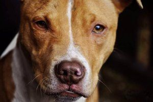 Pit Bulls: Legit Dog Breed or Mixed Mongrel