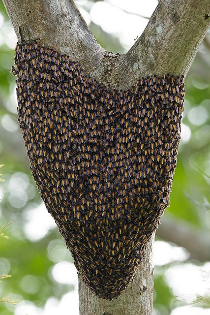 Honey Bee Swarm. love how the slope of the sides of the natural hive prove that top bar and other methods of natural beekeeping that consider this are naturally healthier for the bees.
