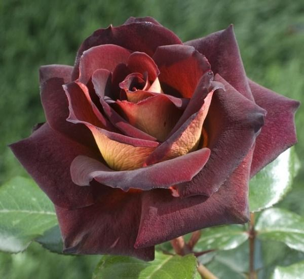 Dark Night Hybrid Tea Rose Hybrid Tea Roses Pinterest