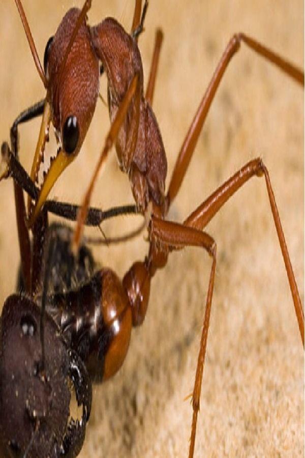 Most Dangerous Ant Bulldog Ant Myrmecia Pyriformis Bulldog