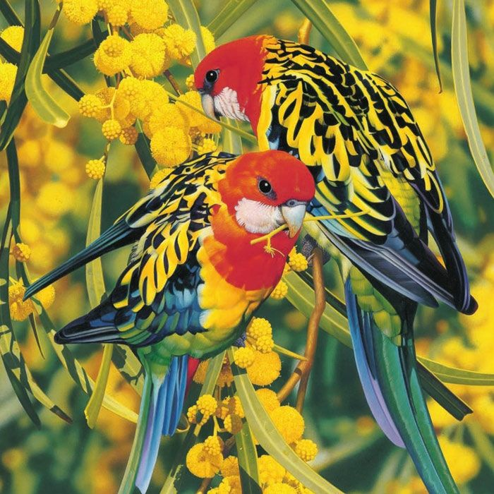 Another striking Aussie native we get here. The Eastern Rosella. The males and females are quite similar, although the female can be more dull. This picture shows them in Wattle. They fly in in a flock, stay on the Grevillea, especially the Sandra Gordon, and then take off. They like to forage on the ground as well as in nectar/seed producing plants. I always find them to be quiet, even in a flock, and quite shy. They never stay long here before they are on their way again.