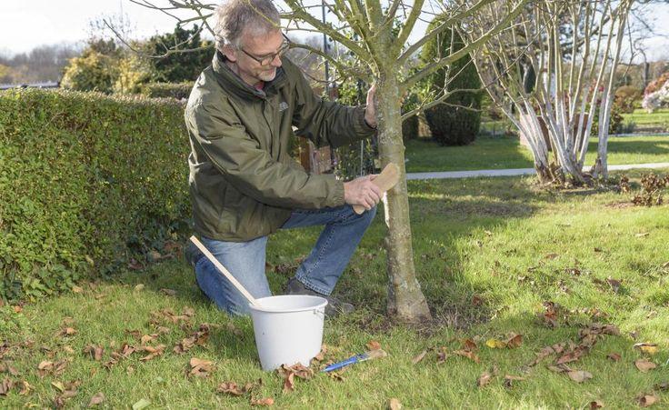 Ein Weißanstrich als Winterpflege tut der Rinde von Obstbäumen doppelt gut. Die helle Farbe schützt vor Frostrissen und mit zwei einfachen Zusatzstoffen auch vor Wildverbiss.