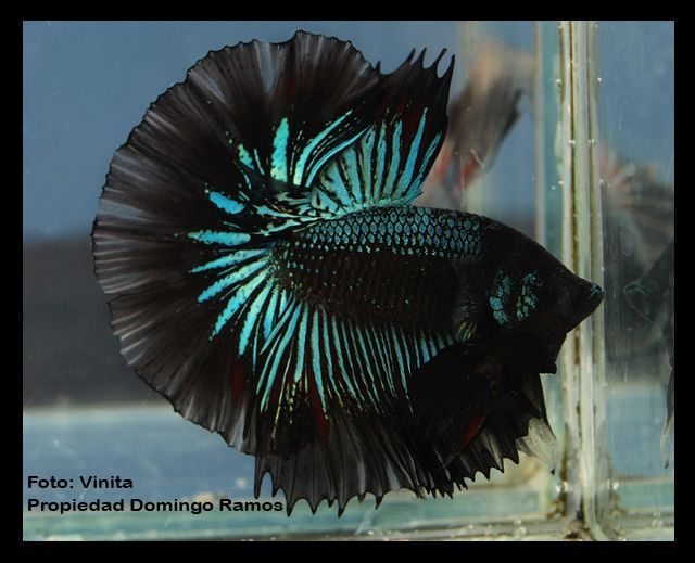 Wow! This is a striking betta. I love the black and aqua!