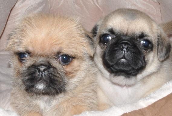 Pug and Shih Tzu Pug Zu