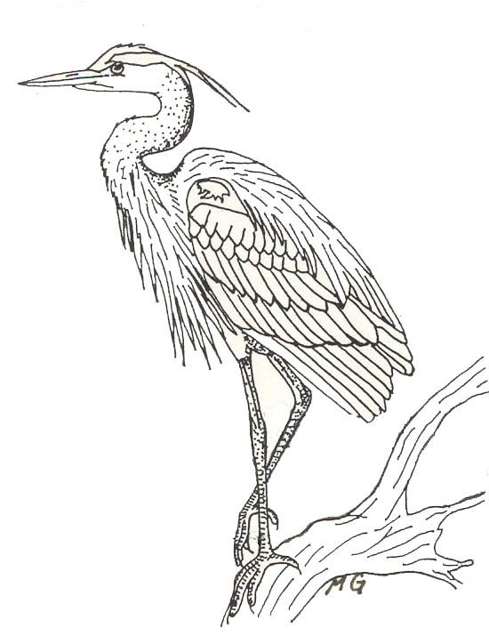 Blue heron print and color butterflies birds bugs for Great blue heron coloring page