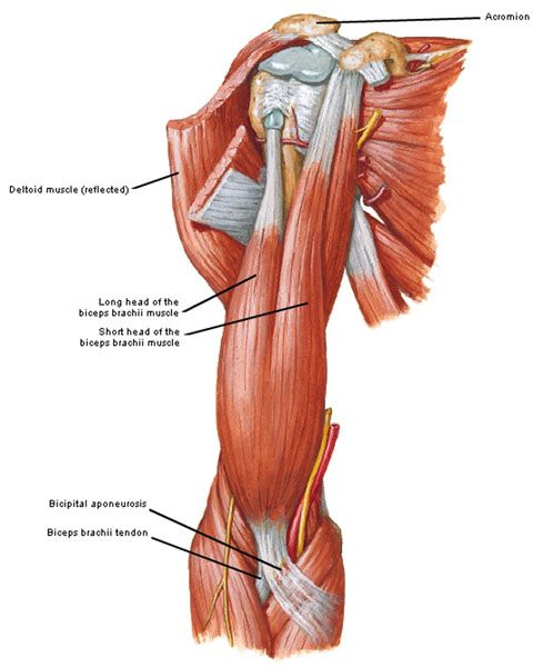 10 best ref | humans | biceps brachii images on pinterest, Human Body
