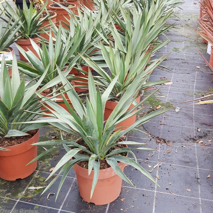 Buy Yucca Gloriosa Plants Online Delivery by Charellagardens