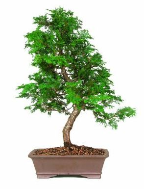 17 best images about bonsai on pinterest different types for Different kinds of bonsai trees