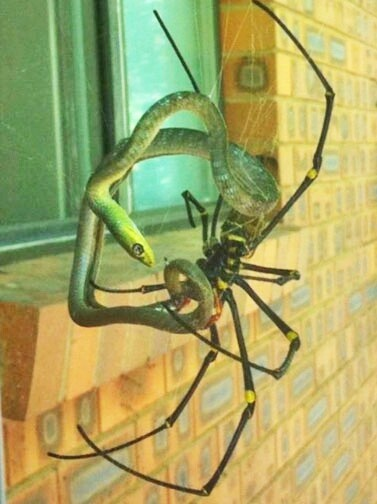 A Giant Australian Spider Eating A Snake! Maybe we don't have it so bad after all.