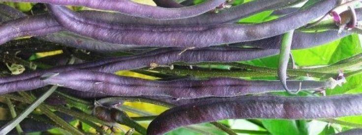 Haricot nain Royal Burgundy - Bio